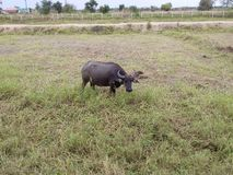 Buffel i f?ltet arkivfoto