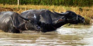 Buffel i floden Arkivfoto