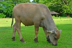 Buffel i grönt fält Royaltyfria Foton