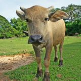 Buffel i grönt fält Arkivbilder