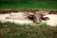 Buffel i gyttjan fotografering för bildbyråer