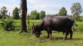 buffel i jordbruksmark stock video
