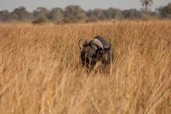 Buffel i långt torrt gräs royaltyfria bilder