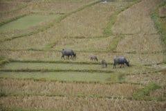 Buffel i risterrassfält i Mae Klang Luang, Chiang Mai, Thailand Royaltyfria Foton