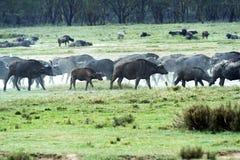 Buffel i savannahen Fotografering för Bildbyråer