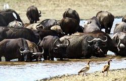 Buffel i savannahen Arkivfoto