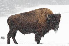 Buffel i snow Arkivbild