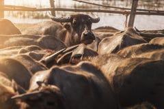 Buffel i stall Royaltyfria Bilder
