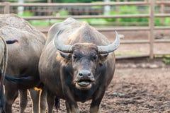 Buffel i Thailand Royaltyfri Foto