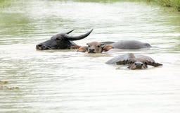 Buffel i vattnet royaltyfria foton