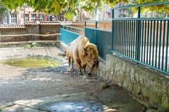 Buffel i zoo Arkivfoto
