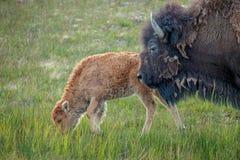 Buffel & kalv Arkivfoto