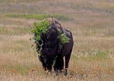Buffel med en huvudbonad Arkivbild
