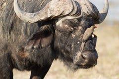 Buffel med oxpecker Royaltyfri Bild