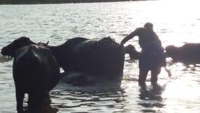 Buffel med solnedgång Royaltyfri Bild