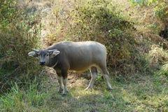 Buffel nuture, djur Arkivbild