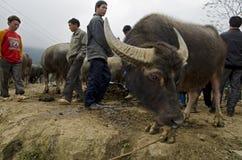 Buffel på Bac Ha Sunday Market Arkivfoton