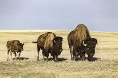 Buffel på Badlandsnationalparken royaltyfria bilder
