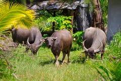 Buffel på den KohKho Khao ön Fotografering för Bildbyråer