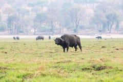 Buffel på en ö i den Chobe floden Royaltyfri Bild