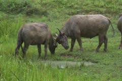 Buffel på fältet Arkivbilder