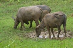 Buffel på fältet Arkivfoto