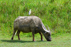Buffel på fältet Arkivbild