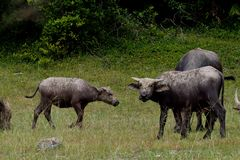 Buffel på gyttjan och ätagräs, i att beta nära det löst royaltyfri bild