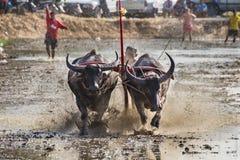 Buffel på gyttjaspringloppet Royaltyfri Bild