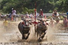 Buffel på gyttjaspringloppet royaltyfria foton