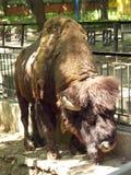 Buffel på zoo Arkivbild