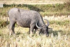 Buffel som äter gräs Fotografering för Bildbyråer