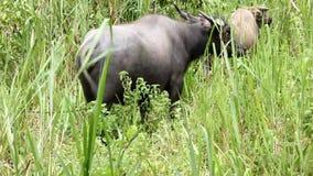 Buffel som äter gräs i det lösa gräset stock video