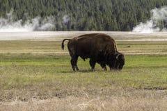Buffel som äter i en praire arkivbild