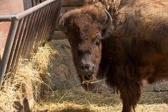 Buffel som äter i zoo Arkivbild