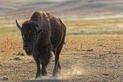 Buffel som går i dammet arkivbilder