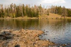 Buffel som långt vilar på kusten av Yellowstonet River nära Lehardy forsar i den Yellowstone nationalparken - Wyoming Förenta sta Royaltyfria Foton