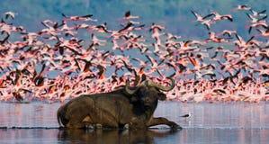 Buffel som ligger i vattnet på bakgrunden av stora flockar av flamingo kenya _ Nakuru National Park Sjö Bogoria Nationa Arkivfoton