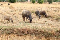 Buffel som matar naturliga foods arkivbild