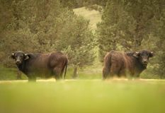 Buffel som två ser in mot kameran arkivbilder