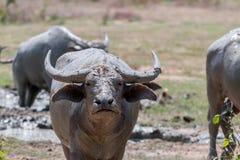Buffel Thailand royaltyfri bild