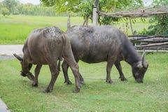 Buffel Thailand Arkivfoto