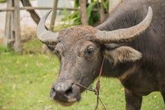 Buffel Thailand Fotografering för Bildbyråer