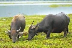 buffel två Arkivfoton