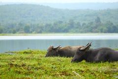 buffel två Arkivfoto