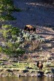 buffel två Fotografering för Bildbyråer