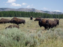 buffel yellowstone Royaltyfria Bilder