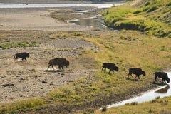 Buffelbison som korsar en flod i Lamar Valley Yellowstone Royaltyfria Foton