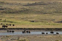 Buffelbison som korsar en flod i Lamar Valley Yellowstone Fotografering för Bildbyråer