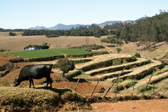 buffelbygdliggande Royaltyfria Bilder